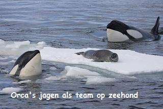 orca's jagen als team op zeehond